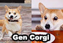 Corgi With Adorable Facial Expressions